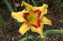 Tiger Swirl Daylily (Hemerocallis 'Tiger Swirl') at Moana Nursery
