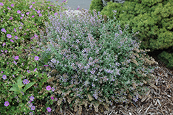 Cat's Meow Catmint (Nepeta x faassenii 'Cat's Meow') at Moana Nursery