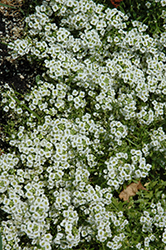 Snow Princess Alyssum (Lobularia 'Snow Princess') at Moana Nursery