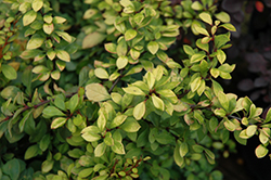 First Editions® Daybreak Japanese Barberry (Berberis thunbergii 'First Editions Daybreak') at Moana Nursery