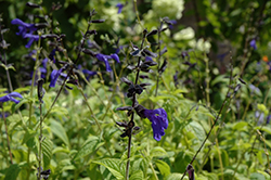 Black And Blue Anise Sage (Salvia guaranitica 'Black And Blue') at Moana Nursery