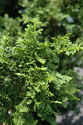 Fernspray Hinoki Falsecypress (Chamaecyparis obtusa 'Filicoides') at Moana Nursery