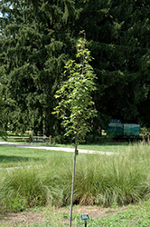 Armstrong Gold Red Maple (Acer rubrum 'JFS-KW78') at Moana Nursery