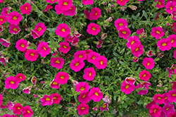 Can-Can Neon Pink Calibrachoa (Calibrachoa 'Can-Can Neon Pink') at Moana Nursery