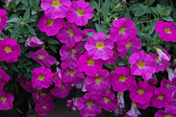 SuperCal® Pink Petchoa (Petchoa 'SuperCal Pink') at Moana Nursery
