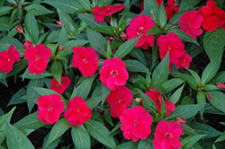 Divine Cherry Red New Guinea Impatiens (Impatiens hawkeri 'Divine Cherry Red') at Moana Nursery