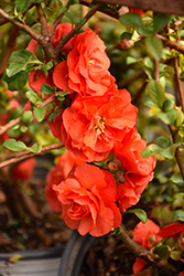 Double Take Orange Storm Flowering Quince (Chaenomeles speciosa 'Double Take Orange Storm') at Moana Nursery