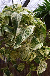 Marble Queen Golden Pothos (Epipremnum aureum 'Marble Queen') at Moana Nursery