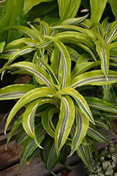 Lemon Lime Dracaena (Dracaena deremensis 'Lemon Lime') at Moana Nursery