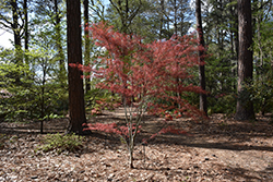 Hubb's Red Willow Japanese Maple (Acer palmatum 'Hubb's Red Willow') at Moana Nursery