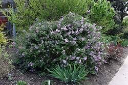 Bloomerang® Lilac (Syringa 'Bloomerang') at Moana Nursery