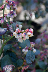 Pink Icing® Blueberry (Vaccinium 'ZF06-079') at Moana Nursery