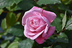 Belinda's Dream Rose (Rosa 'Belinda's Dream') at Moana Nursery