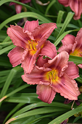 Happy Ever Appster® Rosy Returns Daylily (Hemerocallis 'Rosy Returns') at Moana Nursery