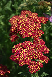 Strawberry Seduction Yarrow (Achillea millefolium 'Strawberry Seduction') at Moana Nursery