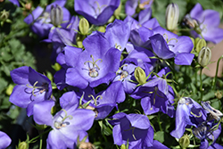 Rapido Blue Bellflower (Campanula carpatica 'Rapido Blue') at Moana Nursery