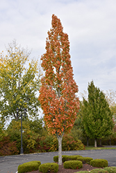Armstrong Maple (Acer x freemanii 'Armstrong') at Moana Nursery