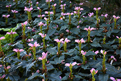 Hot Lips Turtlehead (Chelone lyonii 'Hot Lips') at Moana Nursery