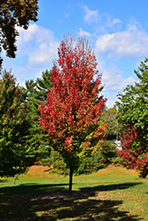 Red Rocket Red Maple (Acer rubrum 'Red Rocket') at Moana Nursery