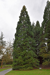 Giant Sequoia (Sequoiadendron giganteum) at Moana Nursery