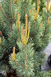Dwarf Blue Scotch Pine (Pinus sylvestris 'Glauca Nana') at Moana Nursery