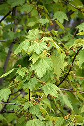 Rocky Mountain Maple (Acer glabrum) at Moana Nursery