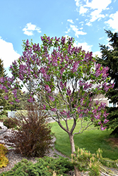 Sensation Lilac (Syringa vulgaris 'Sensation') at Moana Nursery