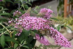 Pink Delight Butterfly Bush (Buddleia davidii 'Pink Delight') at Moana Nursery