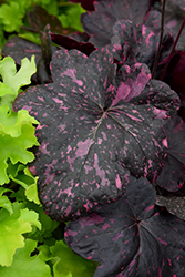 Midnight Rose Coral Bells (Heuchera 'Midnight Rose') at Moana Nursery