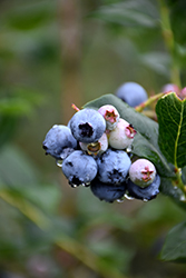Chippewa Blueberry (Vaccinium 'Chippewa') at Moana Nursery