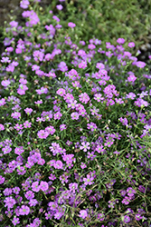 Pink Creeping Baby's Breath (Gypsophila repens 'Rosea') at Moana Nursery