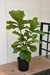 Fiddle Leaf Fig (Ficus lyrata) at Moana Nursery