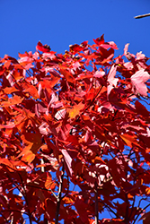 October Glory Red Maple (Acer rubrum 'October Glory') at Moana Nursery