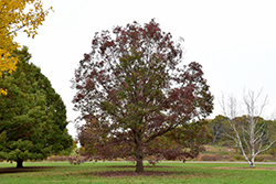 White Oak (Quercus alba) at Moana Nursery