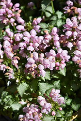 Pink Pewter Spotted Dead Nettle (Lamium maculatum 'Pink Pewter') at Moana Nursery