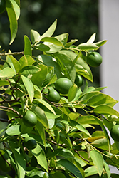 Key Lime (Citrus aurantifolia) at Moana Nursery