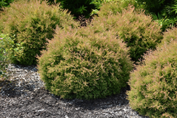 Fire Chief White Cedar (Thuja occidentalis 'Congabe') at Moana Nursery